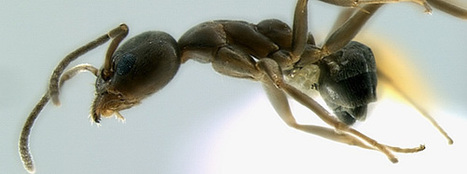 Endemic ants give alien ants a hard time   Science   Scoop.it