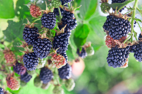 Tips from a Tree Care Contractor on Planting Blackberry Bushes - Part 2   Bellizzi Tree Service of San Jose   Scoop.it