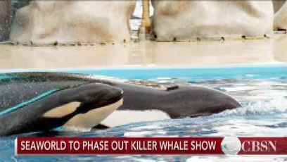 SeaWorld To End Killer Whale Shows - CBSN Live Video - CBS News | All about water, the oceans, environmental issues | Scoop.it