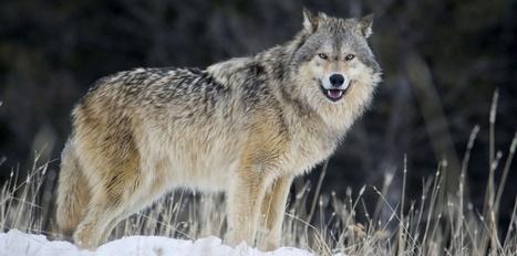 Alpes du Sud : S. Royal répond à J. Giraud dans le dossier loup | Loup | Scoop.it