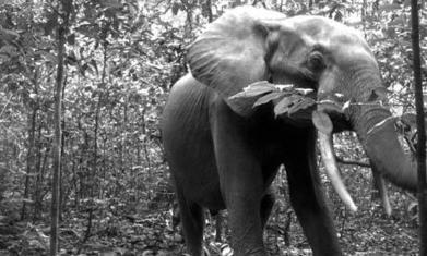 Two-thirds of forest elephants killed by ivory poachers in past decade | Earth Citizens Perspective | Scoop.it