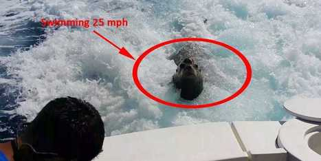 Watch This Sea Lion Chase Down A Boat Going 25 MPH | #ensw diversions - questionably relevant, edgy fodder to brighten your enterprise slog | Scoop.it