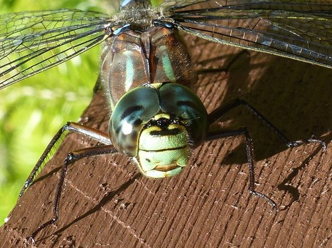 Global : Photos de libellules du Québec - Odonates du Canada - Libellule - Odonate - Odonatoptères - Zygoptères - Demoiselles - Dragonfly - Dragonflies - Damselflies - Damselfly | Fauna Free Pics - Public Domain - Photos gratuites d'animaux | Scoop.it
