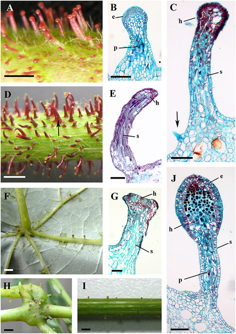 Frontiers | Morphology, Structure, and Ontogeny of Trichomes of the Grape Genus (Vitis, Vitaceae) | Plant Evolution and Development | Plant Gene Seeker -PGS | Scoop.it