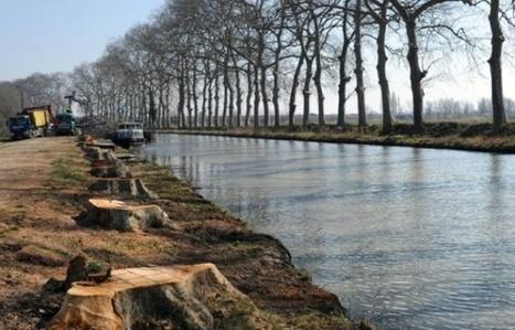 Toulouse: Chancre, replantations... Le bulletin de santé du Canal du Midi en cinq chiffres | Canal du midi (et Cie) | Scoop.it