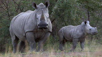 SABC News.com - Rhino poaching up over long weekends in Kruger:Tuesday 2 April 2013 | Kruger & African Wildlife | Scoop.it