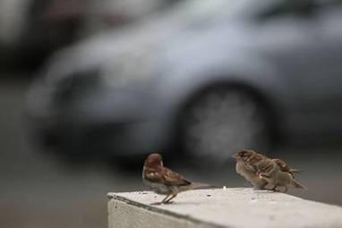 Les moineaux aussi sont victimes de la malbouffe | Toxique, soyons vigilant ! | Scoop.it