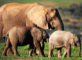 86 elephants poached in Central Africa | Geography | Scoop.it