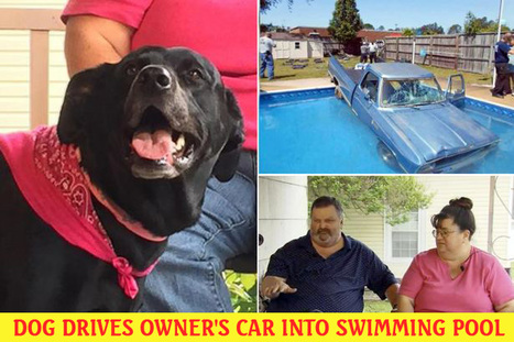 Dog drives owner's car into swimming pool after jumping on accelerator pedal during journey to shops | Entertainment | Scoop.it