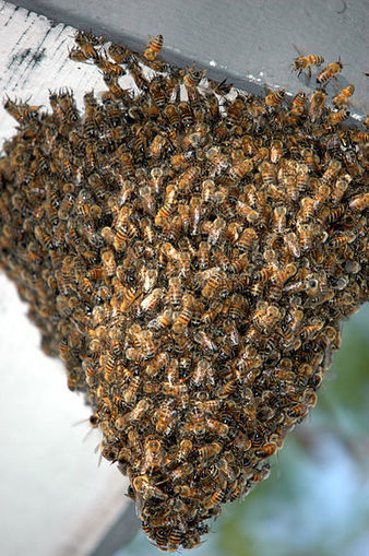 Why Are Honeybees Dying? | North Carolina Agriculture | Scoop.it