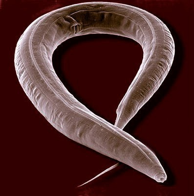 What are the limits to longevity? Combining mutants lead to a 5-fold lifespan extension in C. elegans | iScience Teacher | Scoop.it