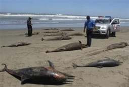 Peru Investigates Deaths of Almost 900 Dolphins | Environmental news from Peru | Scoop.it