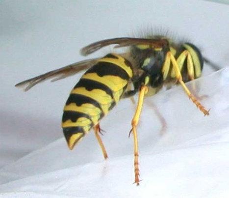 Bạn đã biết: Độ đau đớn khi bị côn trùng đốt ? | Dịch vụ | Scoop.it