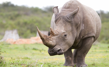 Fashion Gone Bad: Rhino Horn Jewelry is More Popular Than Ever | What's Happening to Africa's Rhino? | Scoop.it
