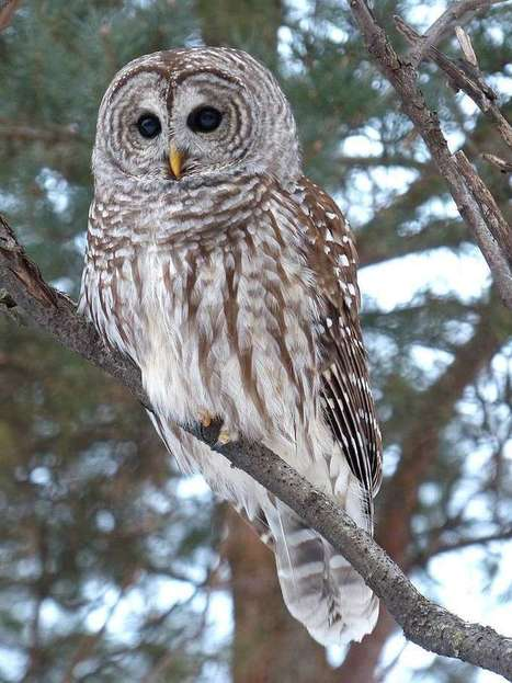 Photo de Strigidé : Chouette rayée - Strix varia - Barred owl - Eight hooter - Rain owl  - Wood owl - Striped owl | Fauna Free Pics - Public Domain - Photos gratuites d'animaux | Scoop.it