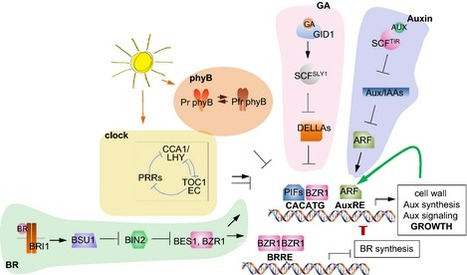 New Phyt: PIFs get BRright: PHYTOCHROME INTERACTING FACTORs as integrators of light and hormonal signals | Plant Biology Teaching Resources (Higher Education) | Scoop.it