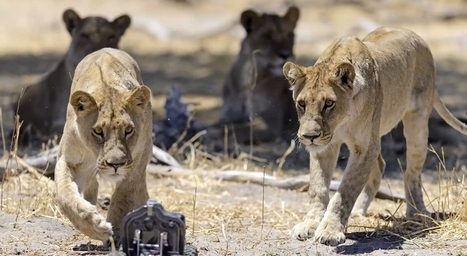 El fotógrafo que retrata leones con ayuda de la tecnología | El mundo utópico del periodismo | Scoop.it