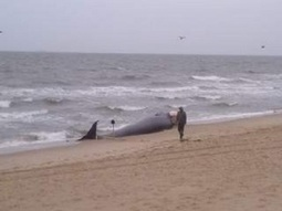 Beached whale found in Norfolk | Earth Island Institute Philippines | Scoop.it
