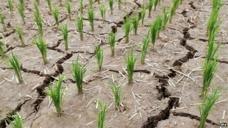 Save the rice | My Republica | CGIAR Climate in the News | Scoop.it