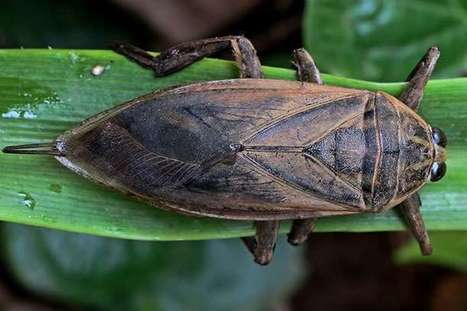 Giant thai insect reveals clues to human heart disease | De Natura Rerum | Scoop.it