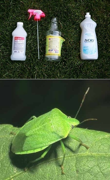 Isopropyl Alcohol = bug spray | Backyard Gardening | Scoop.it