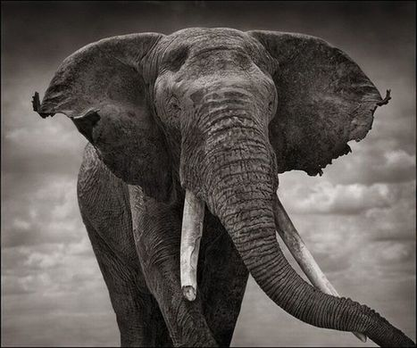 Wildlife Photography by Nick Brandt (15 pics) | Everything Photographic | Scoop.it