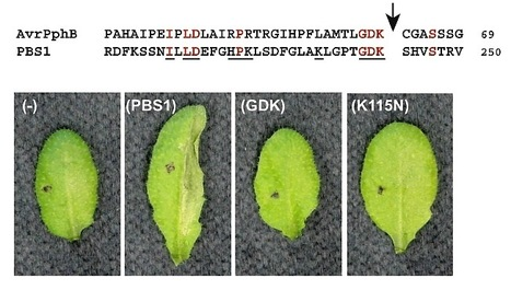 Science: Cleavage of Arabidopsis PBS1 by a Bacterial Type III Effector | plant-microbe interactions | Scoop.it