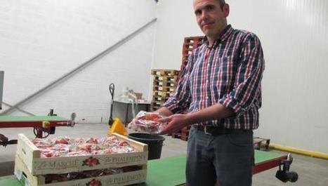 La fraise de Phalempin arrive sur les étals : tout savoir sur ce fruit 100% régional ! | Gastronomie Nord-Pas de Calais | Scoop.it