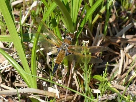 Photos d'odonates : Libellule à quatre taches - Libellula quadrimaculata - Four-spotted Chaser   Fauna Free Pics - Public Domain - Photos gratuites d'animaux   Scoop.it