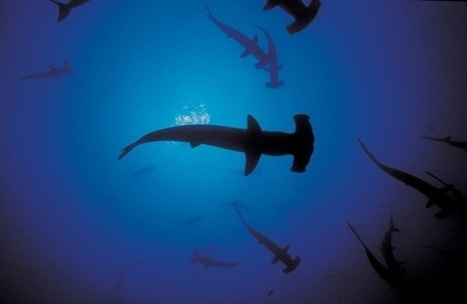 Hammerhead Shark Management Should Reflect Unique ... - Oceana | preservemarinelife | Scoop.it