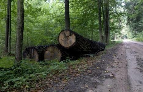 Pologne: début de l'abattage d'arbres à Bialowieza | Biodiversité | Scoop.it