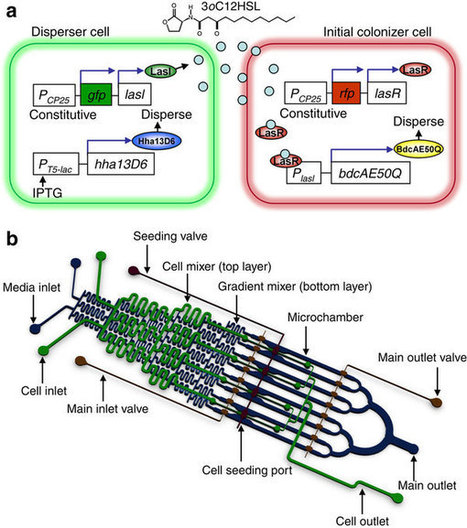 Synthetic quorum-sensing circuit to control consortial biofilm formation and dispersal in a microfluidic device : Nature Communications : Nature Publishing Group | Science, Technology, and Current Futurism | Scoop.it