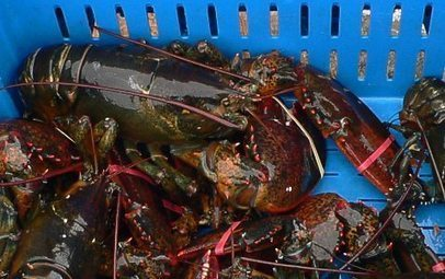 RECIPES: Chances are you have been cooking lobster the wrong way!!! | | FUNDY TIDES | Scoop.it