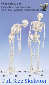 Which Skeleton Model Is Right For You? | New York Microscope Company | Scoop.it
