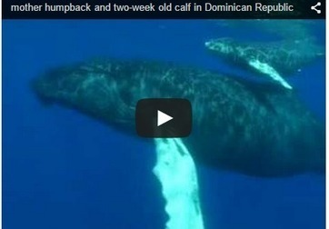 Weekly Heart Opener- A Mother Whale Sings to Her Calf | Eileen Anglin | Our Evolving Earth | Scoop.it