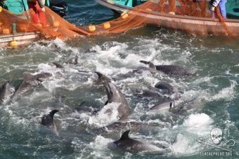 At the End of #Taiji's Drive Hunt Season, a Time to Reflect - Sea Shepherd   Rescue our Ocean's & it's species from Man's Pollution!   Scoop.it