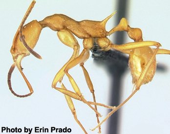 The Cliff-Diving Ant of Madagascar Heroically Protects its Nest | All About Ants | Scoop.it