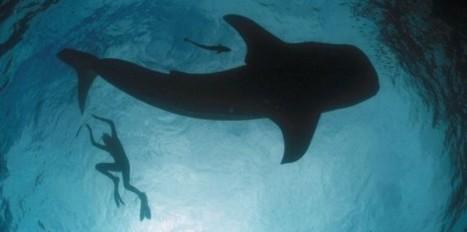 VIDEO: l'incroyable aspiration du requin-baleine | Nature insolite | Scoop.it