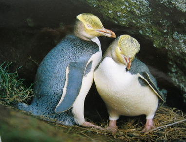 Fast Fact Attack: Endangered Species No. 101 - The Yellow-eyed Penguin | GarryRogers NatCon News | Scoop.it