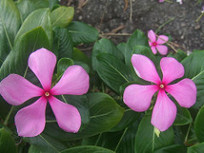 Periwinkle Plant A Medicinal Herbs Of Ayurveda | Ayurvedic Medicine | Scoop.it