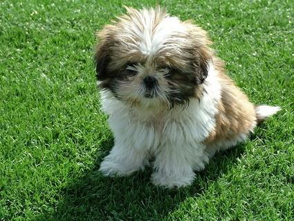 Shih Tzu Treatment - 5 Leading Recommendation | Florida Golden Retriever puppies for sale | Scoop.it