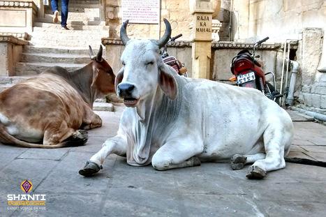 Dans la peau d'une vache sacrée indienne... | Actu & Voyage en Inde | Scoop.it