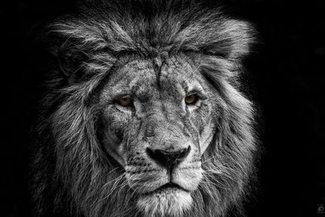 Photography of King of The Jungle   Everything Photographic   Scoop.it