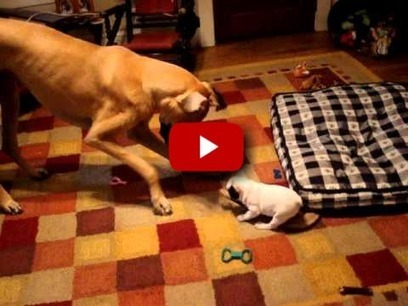 French Bulldog Puppy and Great Dane Have a Playdate...What Happens is Beyond Adorable! | 1 | Scoop.it