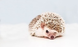 Translation Tuesday: Hedgehogs by Amanda Michalopoulou | The Short Story | Scoop.it