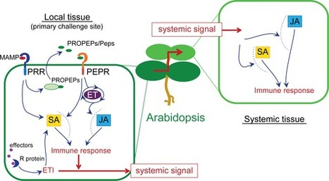 The Arabidopsis PEPR pathway couples local and systemic plant immunity | Plant pathogen | Scoop.it