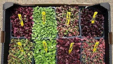 Micro Herbs Vertical Growing | Vertical Farm - Food Factory | Scoop.it