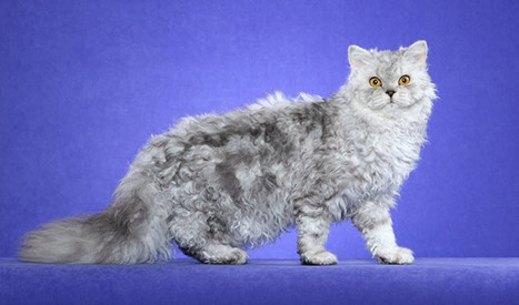 11 Friendliest Cat Breeds for Kids | Pets World | Caring for Cats | Scoop.it