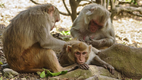 Climbing the social ladder can strengthen your immune system, monkey study suggests | Sciences & Santé | Scoop.it