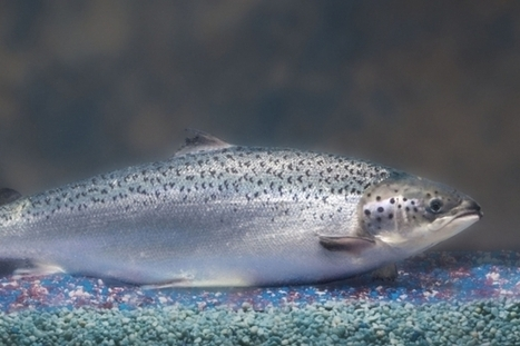 Genetically modified salmon in Canada? | The Great Outdoors | Scoop.it